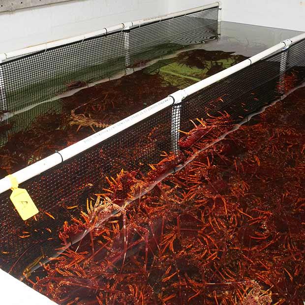 lobster-holdingtank-600