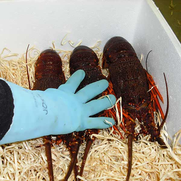 Live lobster packed in box